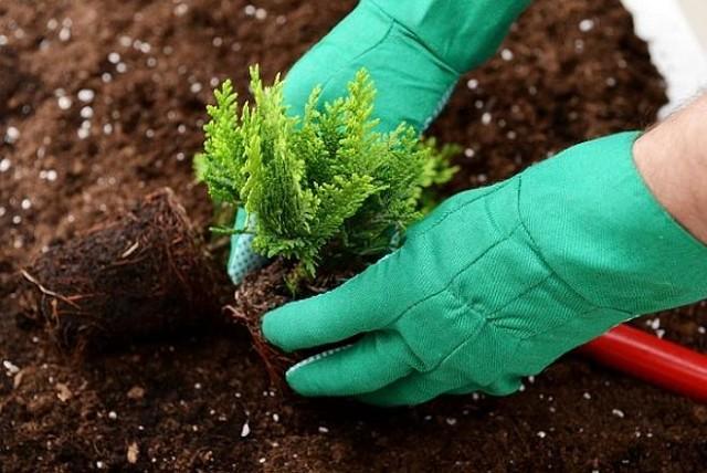 Cum plantam corect tuia?
